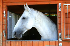 Oud paard Kladruby in stal royalty-vrije stock foto