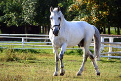 Oud paard Kladruby in uitgang Royalty-vrije Stock Foto's