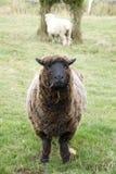 Oud schapenlandbouwbedrijf Stock Foto
