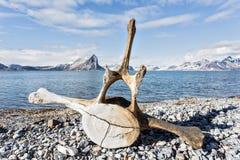 Oud walvisbeen op de kust van Spitsbergen, Noordpool Stock Fotografie