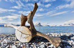 Oud walvisbeen op de kust van Spitsbergen, Noordpool Royalty-vrije Stock Afbeeldingen