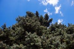 Oud wijf van de blauwe sparren van Colorado Stock Afbeeldingen