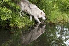 Oud Wolf Drinking Royalty-vrije Stock Foto