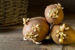 Oude aardappelbollen met jonge spruiten klaar voor het planten stock afbeelding