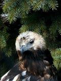 Oude adelaar. Stock Afbeeldingen
