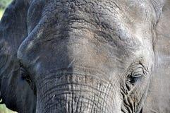 Oude Afrikaanse Gezichts Dichte Omhooggaand van de Olifantsstier Royalty-vrije Stock Foto
