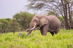 Oude Afrikaanse Olifant in Serengeti Stock Afbeeldingen