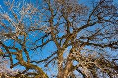 Oude appelboom onder blauwe hemel Stock Afbeeldingen