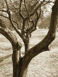 Oude appelboomgaard Stock Afbeelding