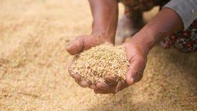 Oude Aziatische Landbouwer Women Carrying Rice in Handen Wijfje met Handvol van Rijst bij het Gebied Landbouwoogst 4K stock footage