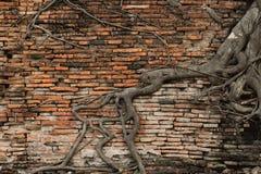 Oude bakstenen muur in het bos met de oude tempel van de wortelboom Stock Foto's