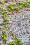 Oude bakstenen muur met groene klimop Royalty-vrije Stock Foto's