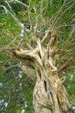 Oude banyan boom stock afbeeldingen