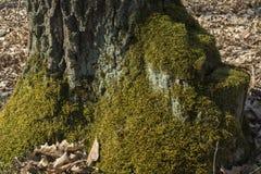 Oude bemoste boomstomp stock foto