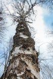 Oude berk tegen de hemel in de beken van natuurreservaatolenyi in het gebied van Sverdlovsk stock fotografie