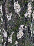 Oude berkboom (achtergrond) Stock Fotografie