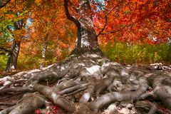 oude beukboom met aardige wortels Royalty-vrije Stock Fotografie