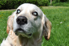 Oude Blinde Labrador Royalty-vrije Stock Foto's