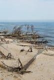 Oude bomen die bij de kust in Letland leggen Stock Afbeeldingen