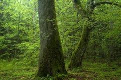 Oude bomen in het bos Stock Afbeeldingen