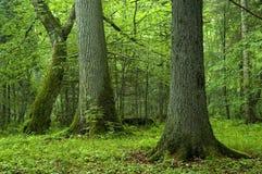 Oude bomen in het bos Royalty-vrije Stock Foto's