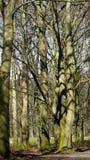 Oude bomen met knoppen Stock Afbeeldingen