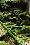 Oude bomen met mos in bos Royalty-vrije Stock Foto's