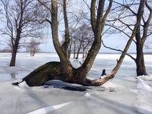 Oude bomen op vloedgebied in de winter, Litouwen royalty-vrije stock afbeelding