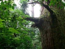 Oude bomen in Tianmu-Berg royalty-vrije stock afbeeldingen