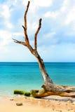 Oude boom bij het strand, met het Caraïbische overzees als backgorund Royalty-vrije Stock Afbeelding