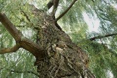 Oude boom Boomstam van wilg stock fotografie