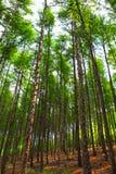 Oude boom in bos Royalty-vrije Stock Afbeeldingen
