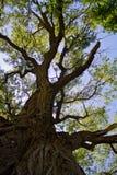 Oude Boom Cottonwood royalty-vrije stock afbeeldingen