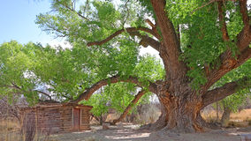 Oude boom Cottonwood Stock Fotografie