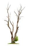 Oude boom. De dood van het concept en het levensheropleving Royalty-vrije Stock Foto's