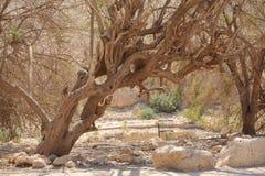 Oude Boom in de Woestijnoase van Ein Gedi Stock Afbeelding
