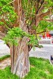 Oude boom dichtbij Tempel van Confucius in Peking - de tweede larges Stock Foto
