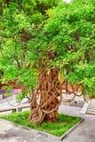Oude boom dichtbij Tempel van Confucius in Peking - de tweede larges Stock Afbeeldingen
