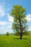 Oude boom in een de lenteweide Royalty-vrije Stock Fotografie