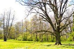 Oude boom in een groen park - de zomerdag Stock Foto's