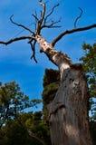 Oude boom en de blauwe hemel Stock Afbeelding