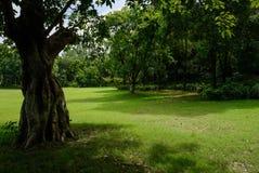 Oude boom in gazon vóór hout op zonnige de zomerdag stock foto's