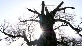 Oude boom in het Brocéliande-hout stock footage