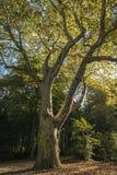 Oude boom in het licht Stock Foto's