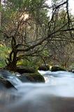 Oude boom in het rivierbed Stock Afbeelding