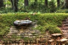 Oude boom met een hub Stock Foto