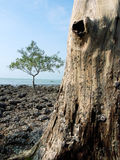 Oude boom met gat Royalty-vrije Stock Foto's