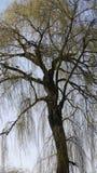 Oude boom met knoppen Royalty-vrije Stock Afbeeldingen
