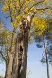 Oude boom met nest Royalty-vrije Stock Foto's