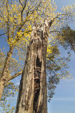 Oude boom met nest Stock Fotografie
